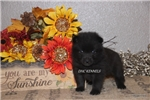 Schipperke for sale