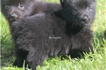 Picture of PEPSI- AKC FEMALE SCHIPPERKE- READY ON 5-8-17!