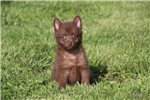 Picture of DESTINY- AKC FEMALE SCHIPPERKE- READY ON 5-3-17!
