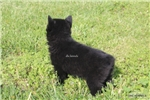 Picture of Ebany- AKC FEMALE SCHIPPERKE- READY ON 5-3-17!