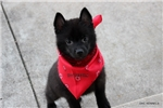 Picture of SPARKY-MALE SCHIPPERKE-READY NOW!