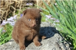 Picture of DESTINY- AKC MALE SCHIPPERKE- READY ON 5-3-17!