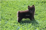 Picture of CAPTAIN- AKC MALE SCHIPPERKE- READY ON 5-3-17!