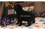 Picture of AKC-PEPPER - FE SCHIPPERKE PUPPY-READY SEPT. 13!