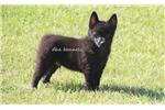 Picture of Shadow- AKC male Schipperke-Ready 5-19-16
