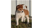 Picture of NILLA-FEMALE RED/WHITE PINTO-AKC -READY JAN 17!