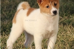 Picture of SADIE-FEMALE RED/WHITE PINTO-AKC -READY JAN 17!