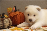 Picture of ASH-FEMALE CREAM SHIBA INU-READY AUG. 5