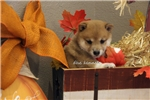 Picture of SCARLET-FEMALE RED/WHITE SHIBA INU-READY AUG. 5