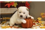 Picture of FROST-MALE CREAM SHIBA INU-READY AUG. 5