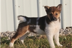 Picture of HARMONY-FEMALE SESAME PINTO-AKC -READY JAN 17!