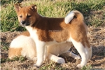 Picture of BABY-FEMALE RED/WHITE PINTO-AKC -READY JAN 17!