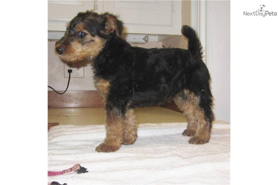 Airedale Terrier puppy for sale near Hampton Roads, Virginia  0fb6b64ab861