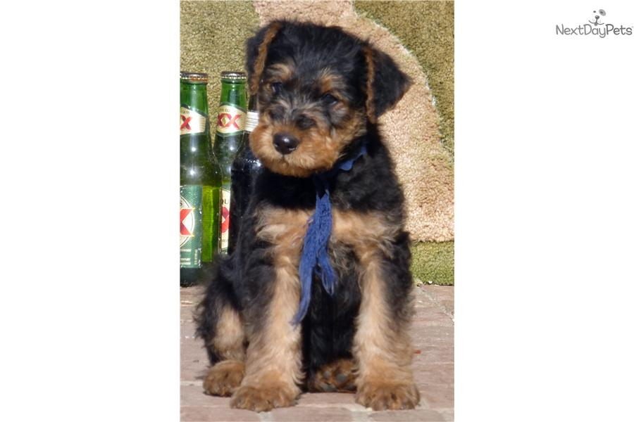 Champion sired airedale male puppy