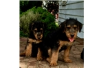 Champion Female Sired Airedale Puppy | Puppy at 10 weeks of age for sale