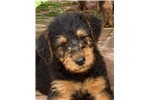 Champion Sired Male Airedale Puppy | Puppy at 10 weeks of age for sale