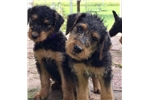 Picture of Champion Female Sired Airedale Puppy