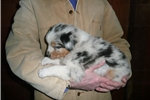 Picture of AKC/ASCA blue merle male