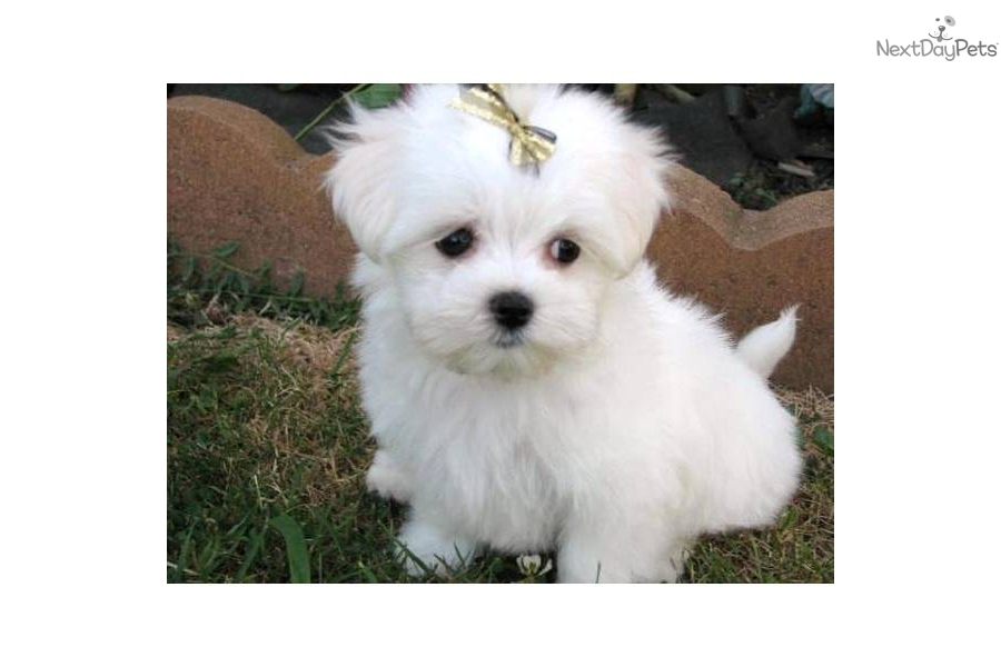 meet chipper a cute maltese puppy for sale for 700 akc