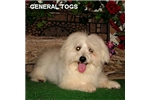 Picture of General Togs - Purebred Coton - What a fun pup!