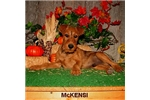 Picture of McKinsi - Purebred Irish Terrier