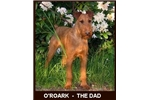 Picture of Red Irish Terrier Male