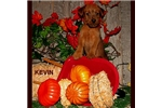 Picture of Kevin - Purebred Irish Terrier