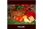 Picture of Kallee - Purebred Irish Terrier