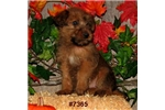 Picture of Ruby (7365) - Purebred Irish Terrier
