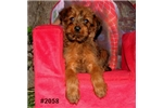 Picture of Garnet - Purebred Irish Terrier