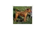 Featured Breeder of Irish Terriers with Puppies For Sale