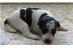 Picture of Foxterrier wire 1 Juna female