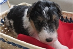 Picture of Foxterrier wire Jewel female 5