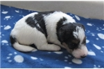 Foxterrier wire 1 Jenny female hold | Puppy at 41 weeks of age for sale