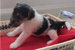 Picture of Foxterrier wire Juna female2
