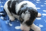 Picture of Foxterrier wire 1 Jenny female