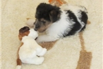 Foxterrier wire Juna female2-hold | Puppy at 24 weeks of age for sale