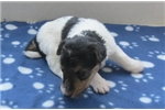 Picture of Foxterrier wire Juna female