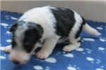 Foxterrier wire Jenna female 3 sold | Puppy at 41 weeks of age for sale