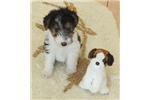 Foxterrier wire Jewel female 5-sold | Puppy at 24 weeks of age for sale