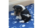 foxterrier wire jade female4-sold | Puppy at 41 weeks of age for sale