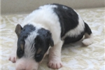 Picture of Foxterrier wire Jenna female 3