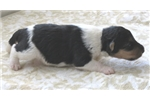 Picture of Foxterrier wire Jaja female 4