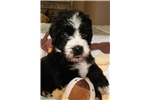Tugg Gorgeous  Clumberten-hypo allergenic,nonshedd | Puppy at 7 weeks of age for sale