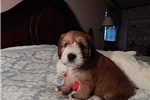 Picture of Clumberten-Christmas puppies