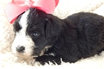 Picture of Female Clumberten-Christmas puppies