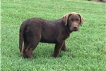 Picture of Bram, gorgeous AKC chocolate lab