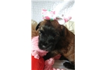 Picture of Lilly, precious AKC wheaten baby