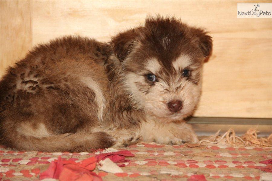mixedother puppy for sale near bowling green kentucky