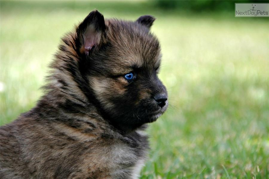 ... More Pomsky Pomsky Puppies For Sale Pomsky Breeders Corgi Husky Mix